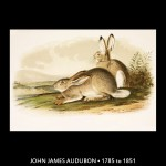 John James Audubon Rabbit Illustration