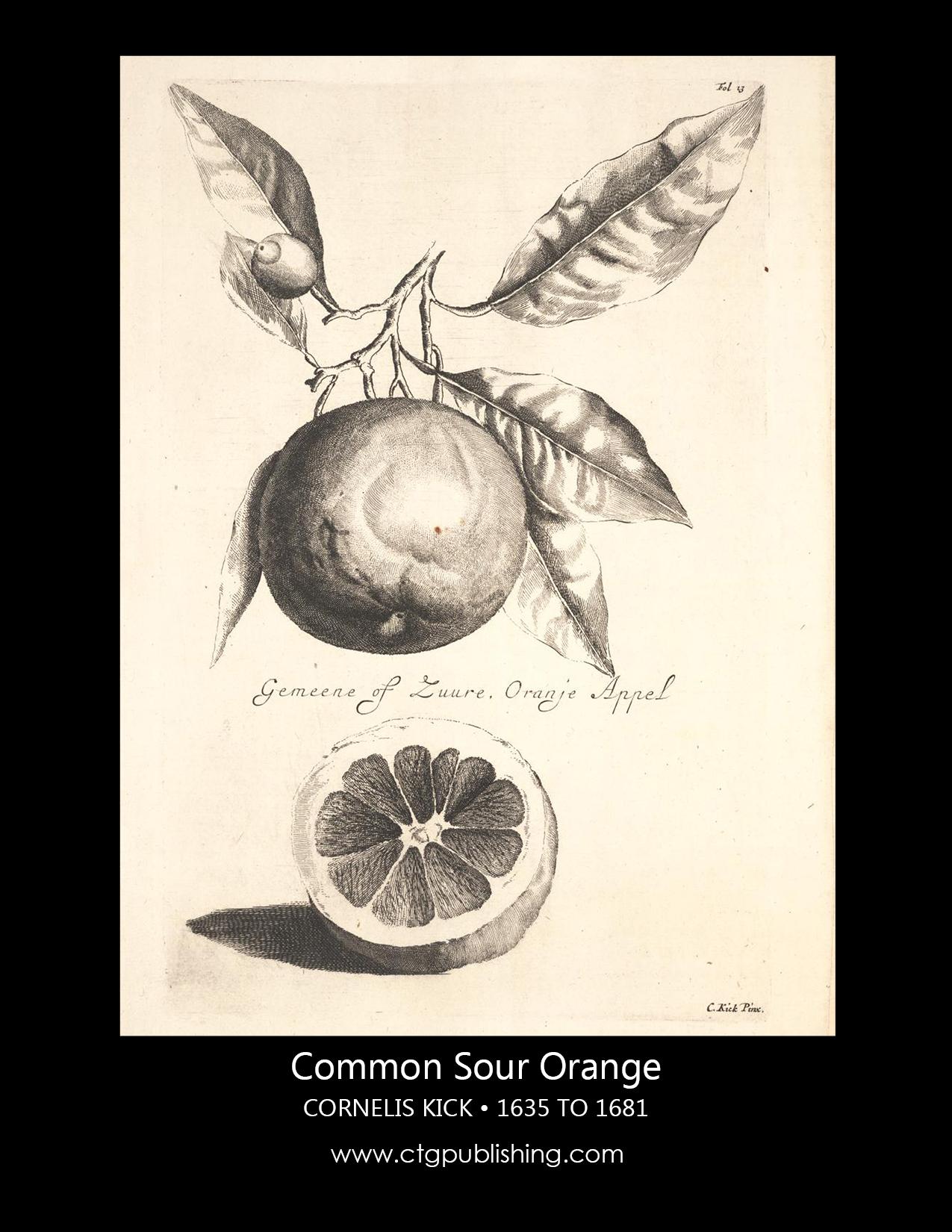Antique Orange Fruit Illustration By Cornelis Kick Botanical
