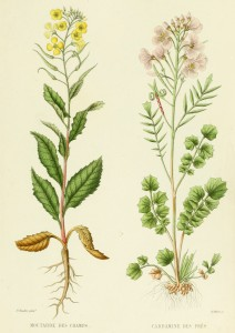 Mustard Cardamine French Antique Botanical Print