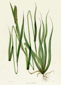 Wheat French Antique Botanical Print