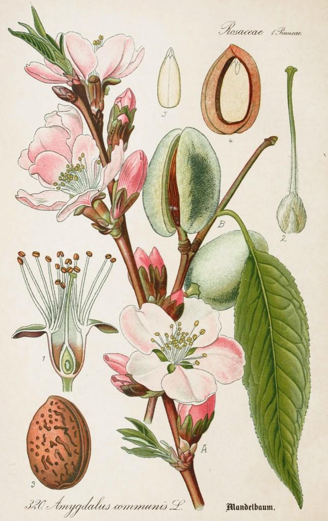 Go Back  gt  Pix For  gt  Wheat Botanical IllustrationWheat Botanical Illustration