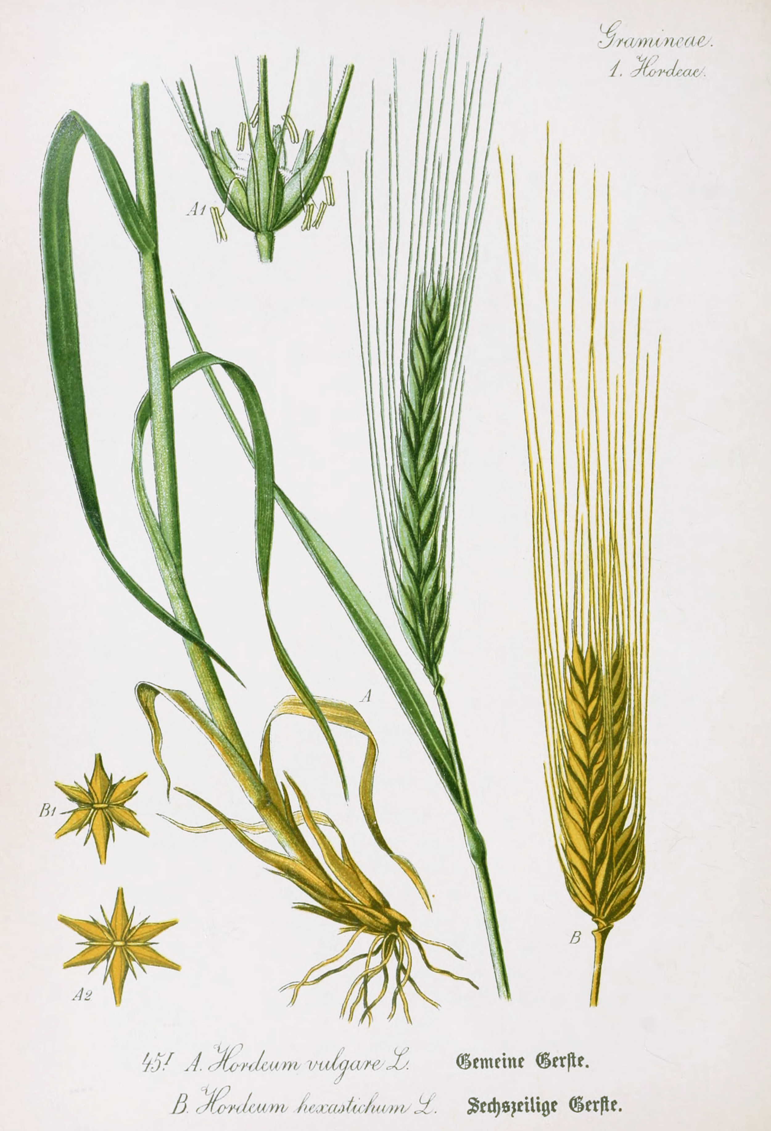 Barley Botanical Illustration from Flora of Germany circa 1903Wheat Botanical Illustration