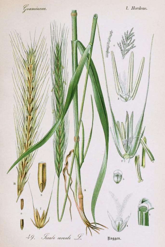 Wheat Botanical Drawing Rye botanical illustrationWheat Botanical Illustration