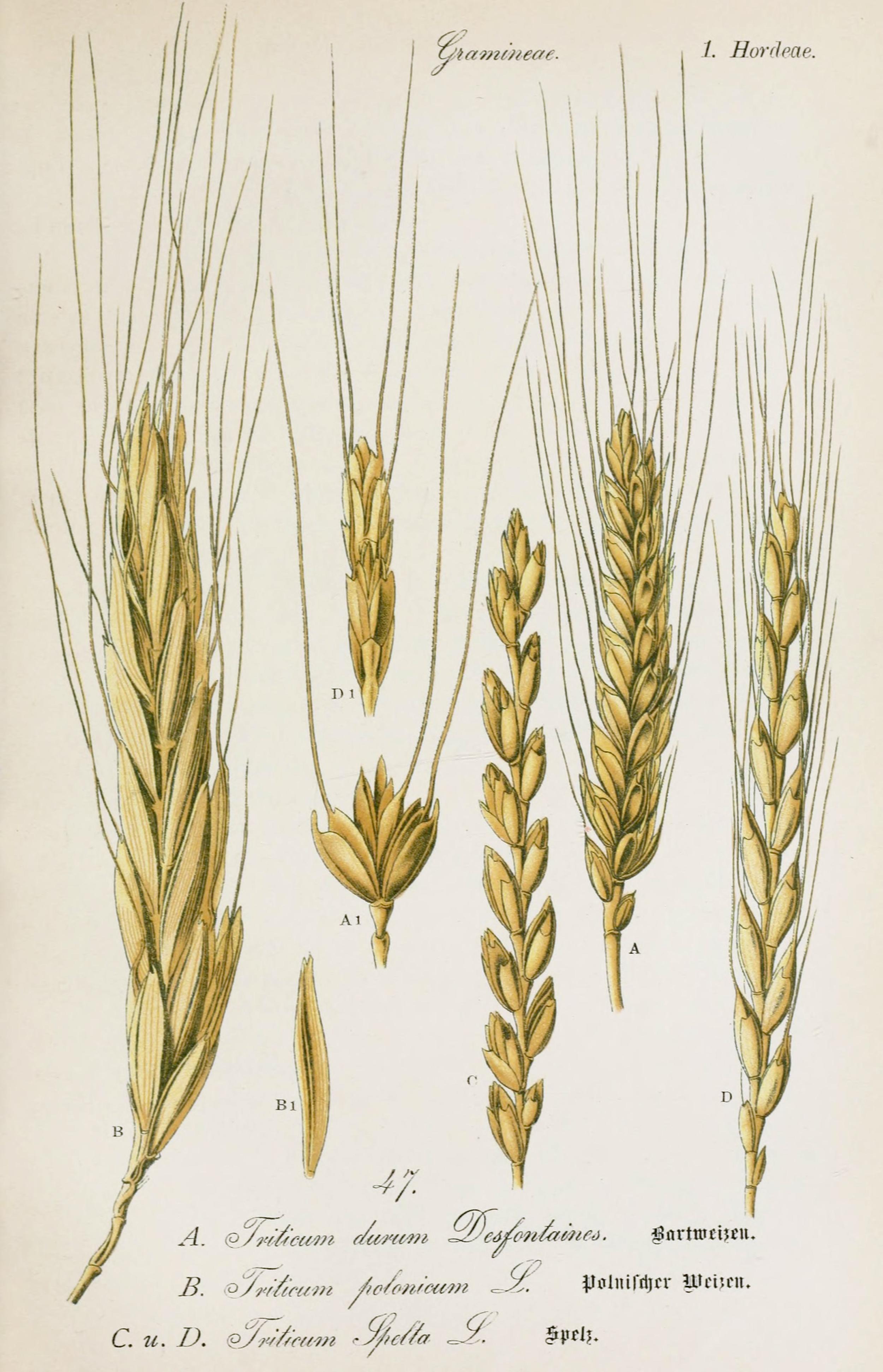Durum Wheat Botanical Illustration from Flora of Germany circa 1903Wheat Botanical Illustration