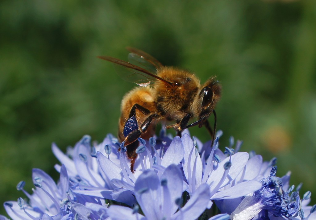 Honey Bee with Blue Pollen by CTG Publishing