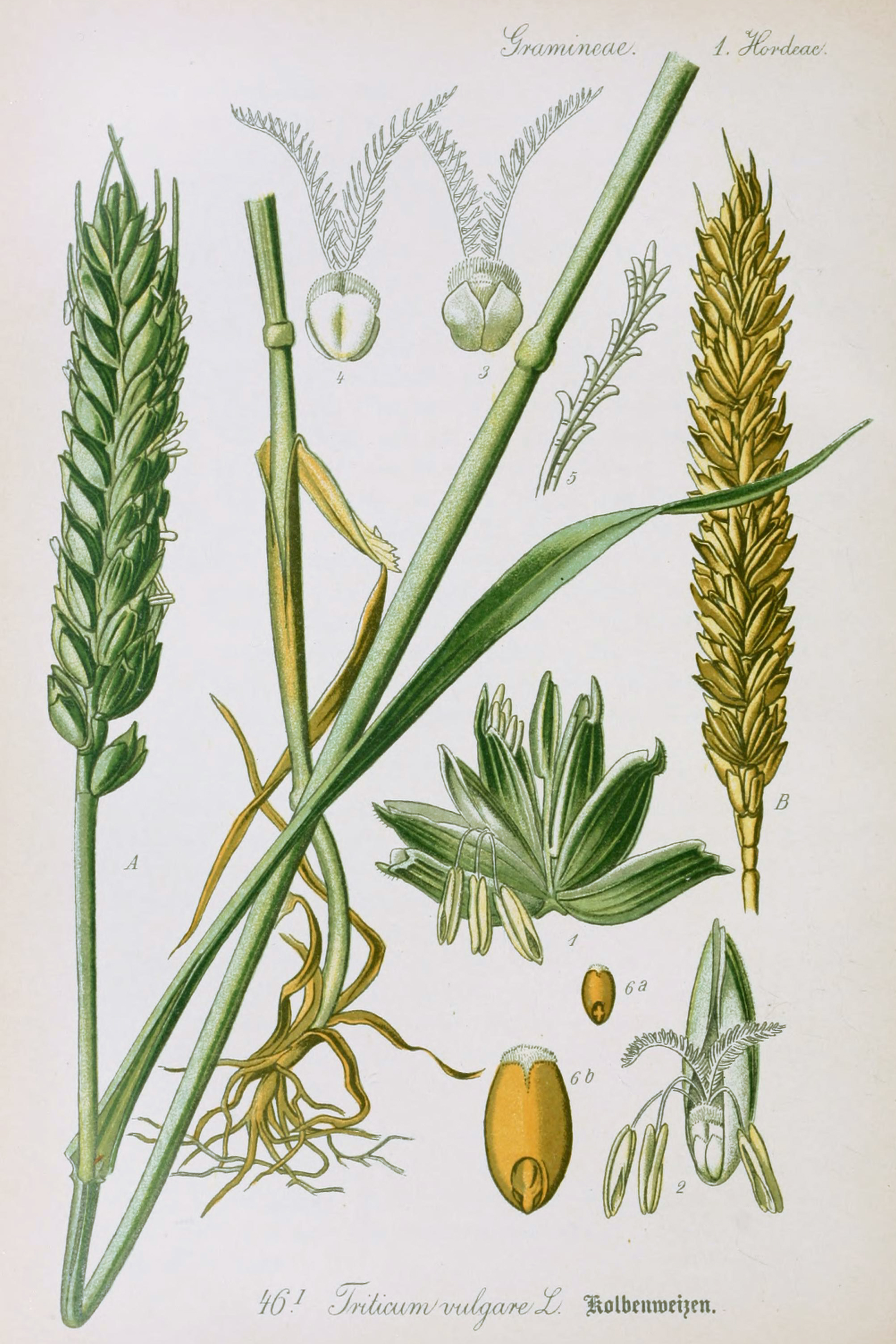 Wheat Botanical Illustration from Flora of Germany circa 1903Wheat Botanical Illustration