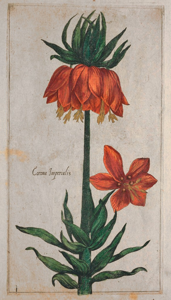 Color Fritillaria imperialis Crown Imperial from Le jardin du Roy tres chrestien by Pierre Vallet circa 1608