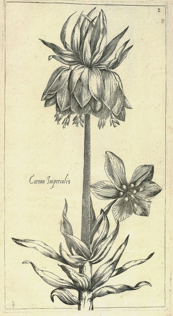Fritillaria imperialis Crown Imperial from Le jardin du Roy tres chrestien by Pierre Vallet circa 1623