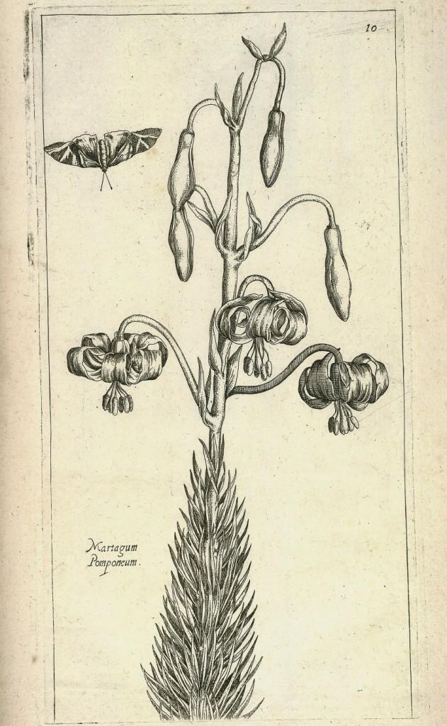 Martagon Lily from Le jardin du Roy tres chrestien by Pierre Vallet circa 1623