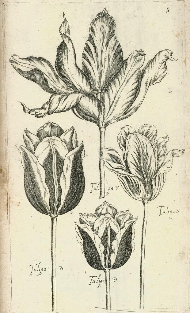 Tulips from Le jardin du Roy tres chrestien by Pierre Vallet circa 1623