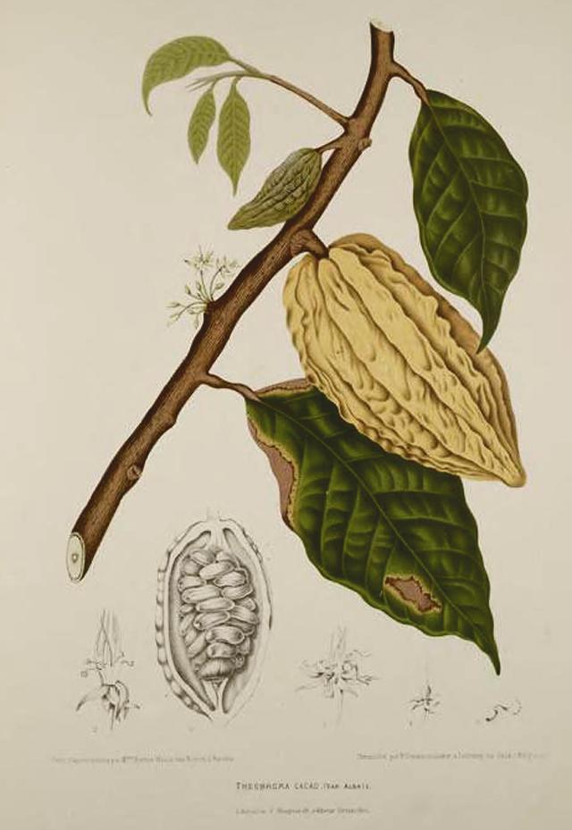 Cacao Chocolate Botanical Illustration Berthe Hoola Van Nooten 1880