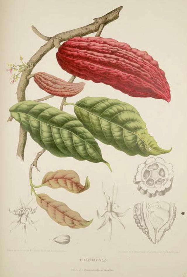 Cacao Botanical Illustration Berthe Hoola Van Nooten 1880