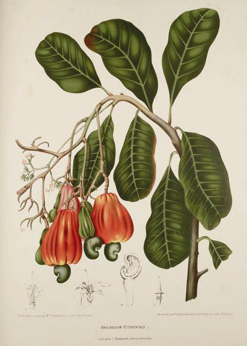 Cashew Botanical Illustration Berthe Hoola Van Nooten 1880
