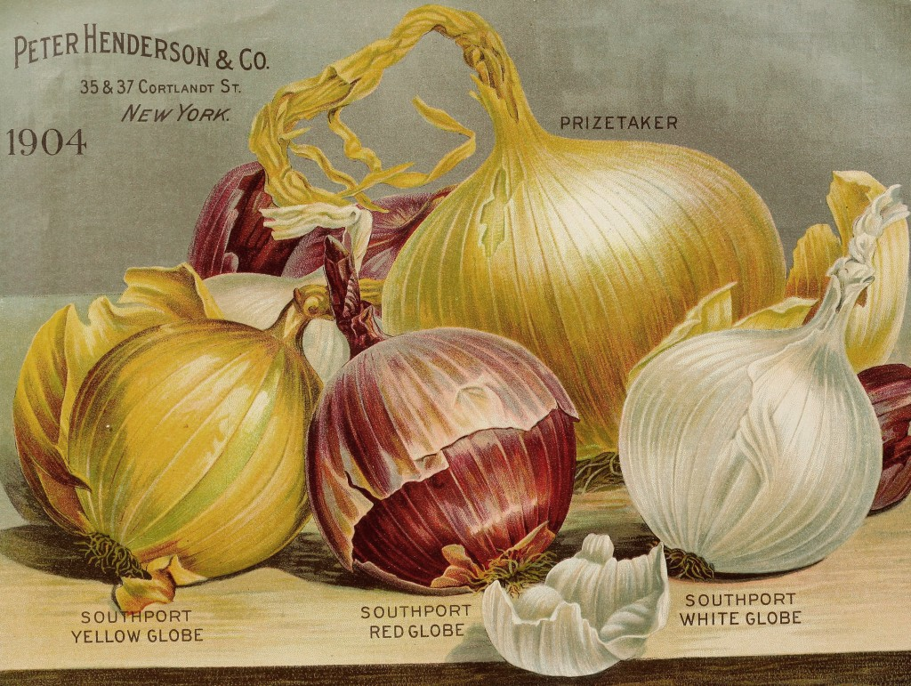 Illustration Globe Onion Varieties circa 1904 - Peter Henderson Co.