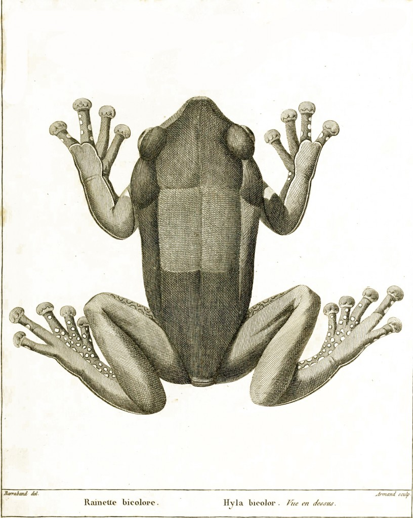 Jacques Barraband Antique Tree Frog (Hyla) Illustration circa 1800