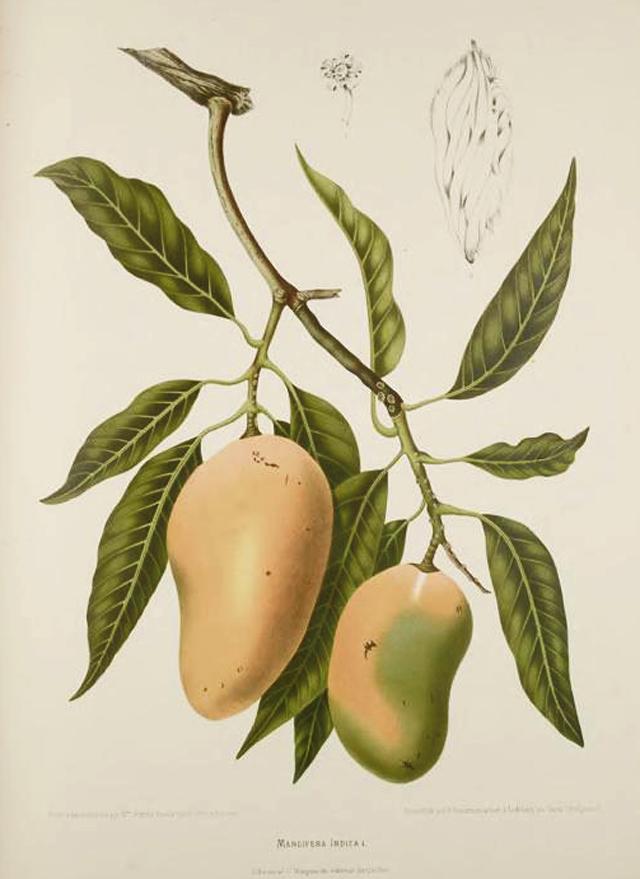 Mango Botanical Illustration Berthe Hoola Van Nooten 1880