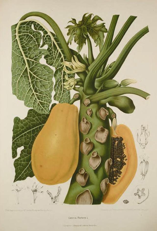 Papaya Botanical Illustration Berthe Hoola Van Nooten 1880