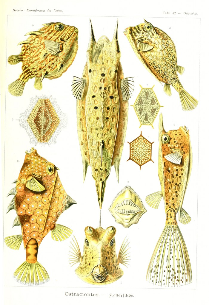 Ostraciidae Box Fish - Ostraciontes Illustration by Ernst Haeckell