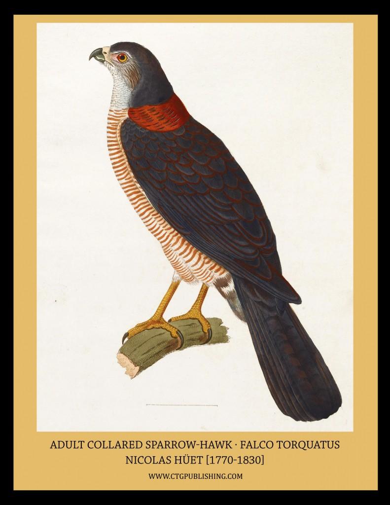 Adult Collared Sparrow-Hawk - Illustration by Nicolas Huet