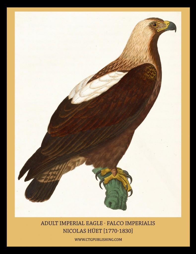 Adult Imperial Eagle - Illustration by Nicolas Huet