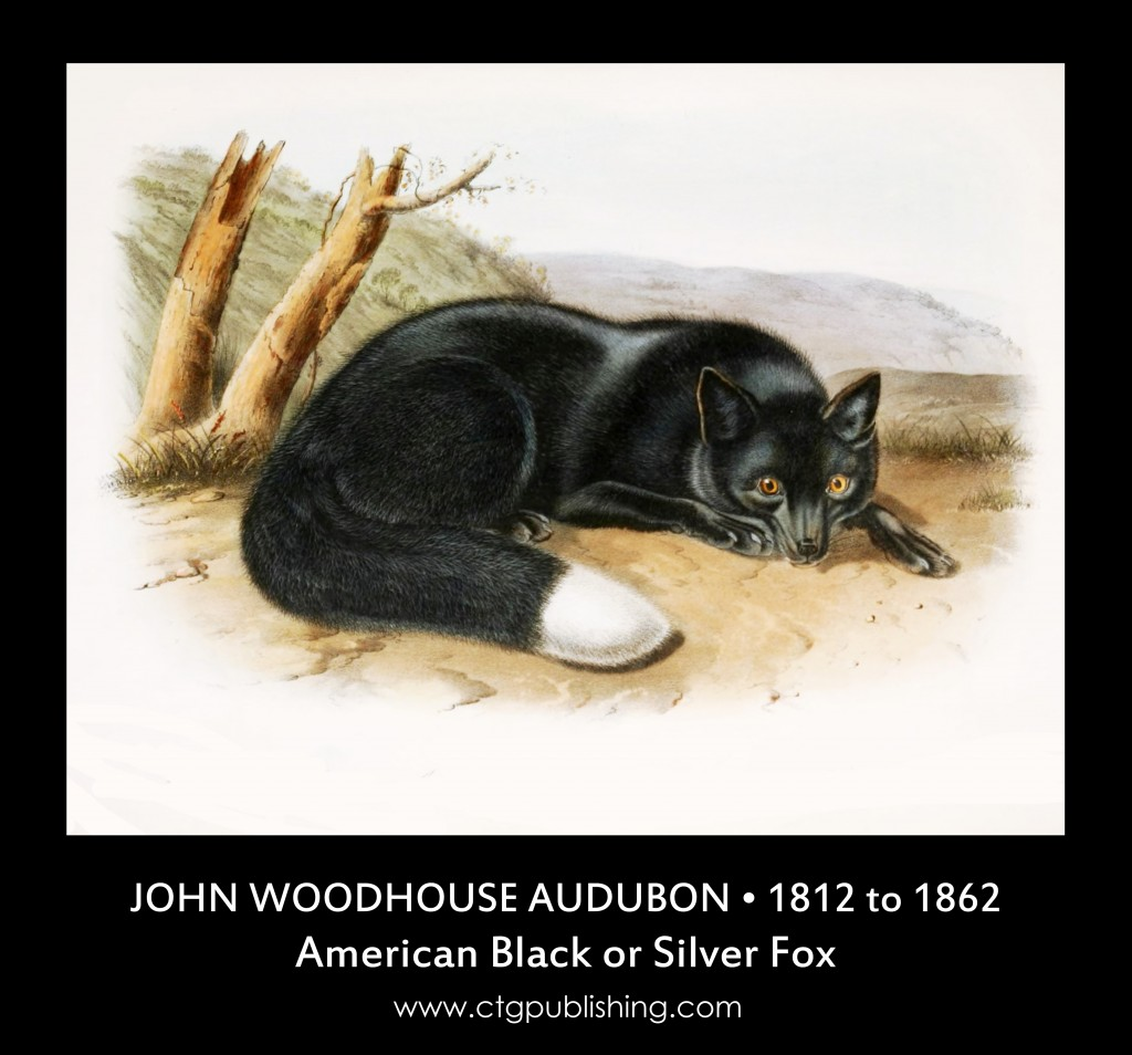 American Black or Silver Fox - Illustration by John Woodhouse Audubon