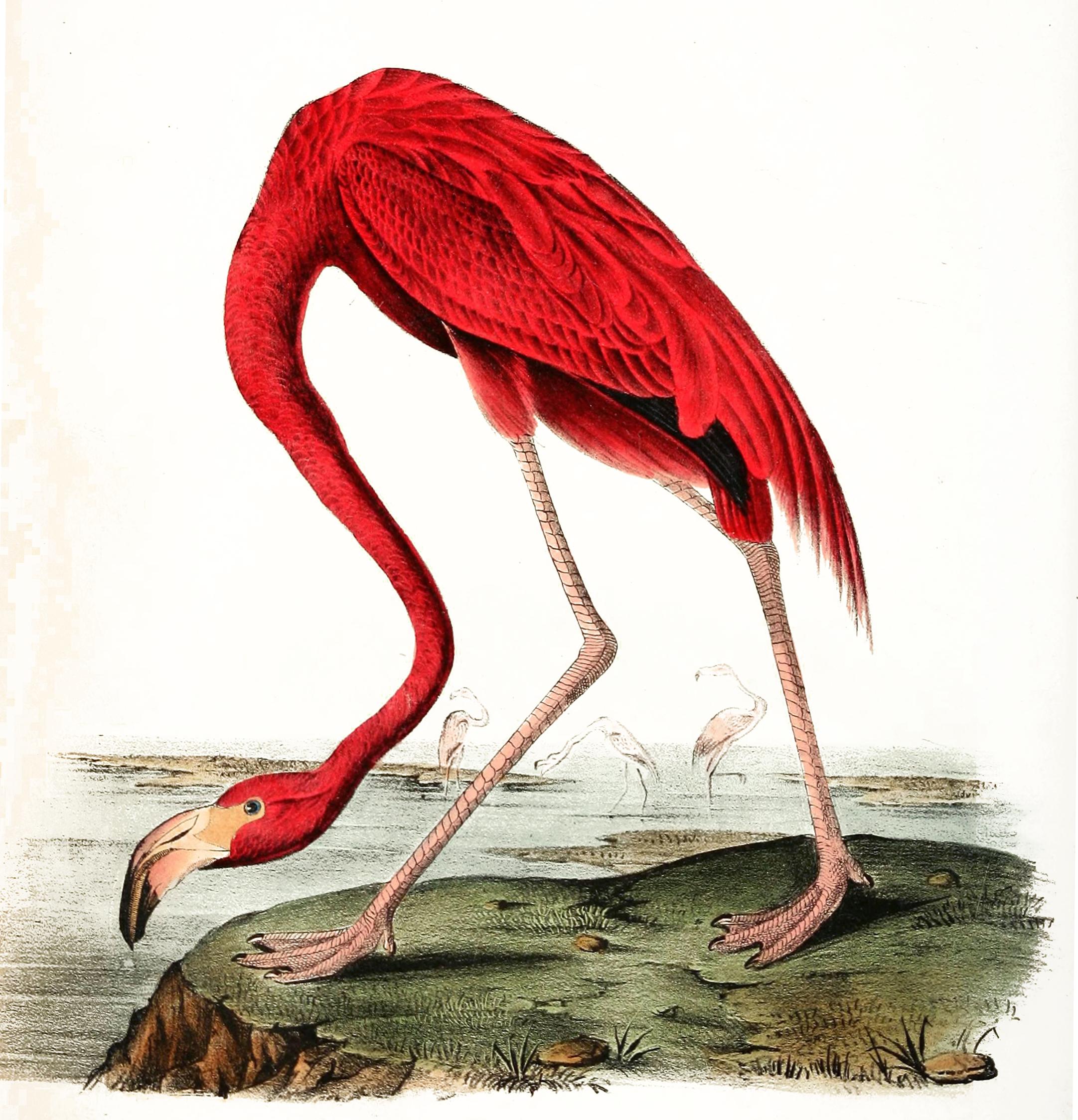 American flamingo painting - photo#24