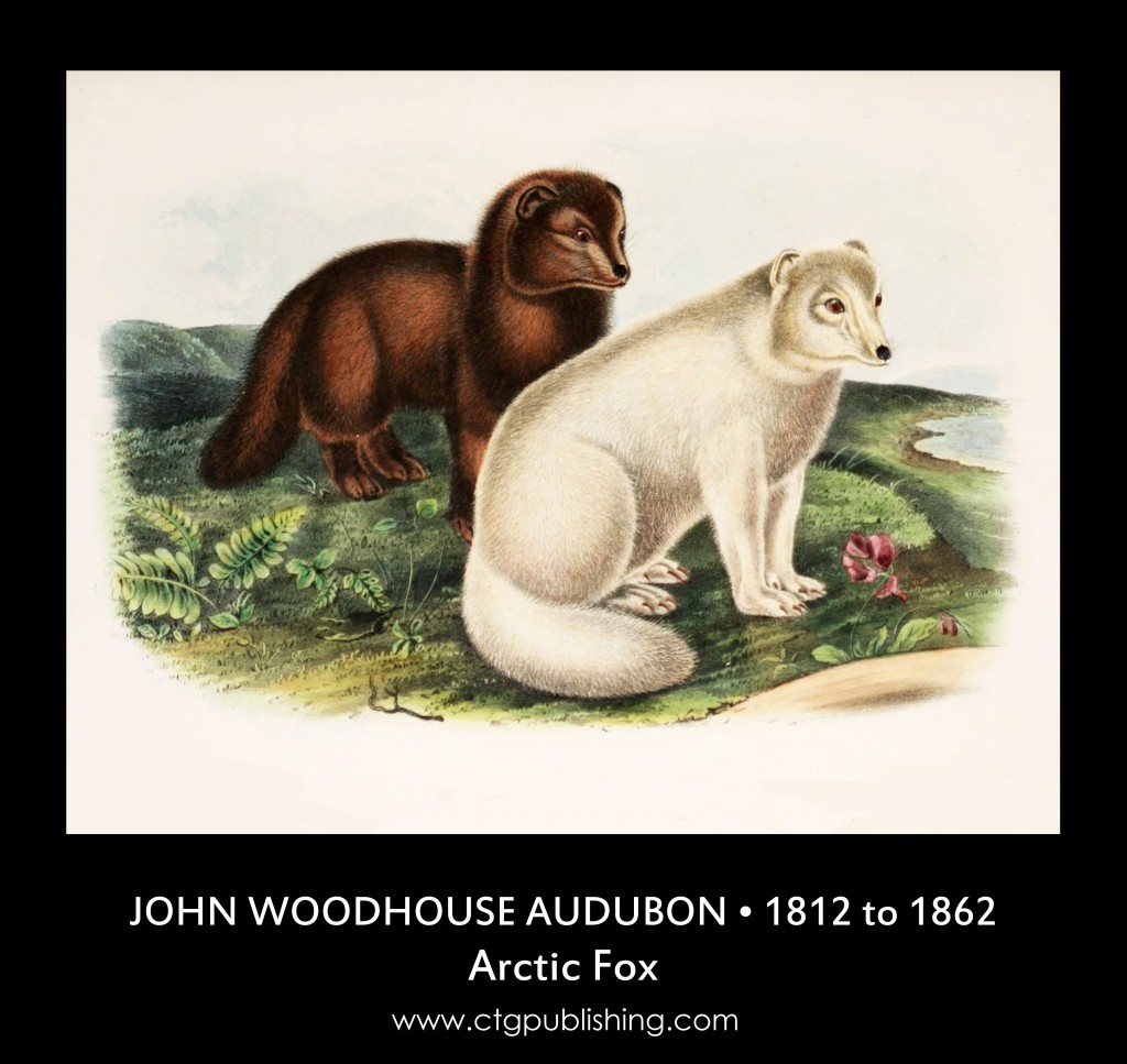 Arctic Fox - Illustration by John Woodhouse Audubon