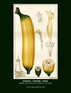 Banana Fruit Botanical Print by Turpin