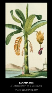 Banana Fruit and Flower Illustration by Descourtilz