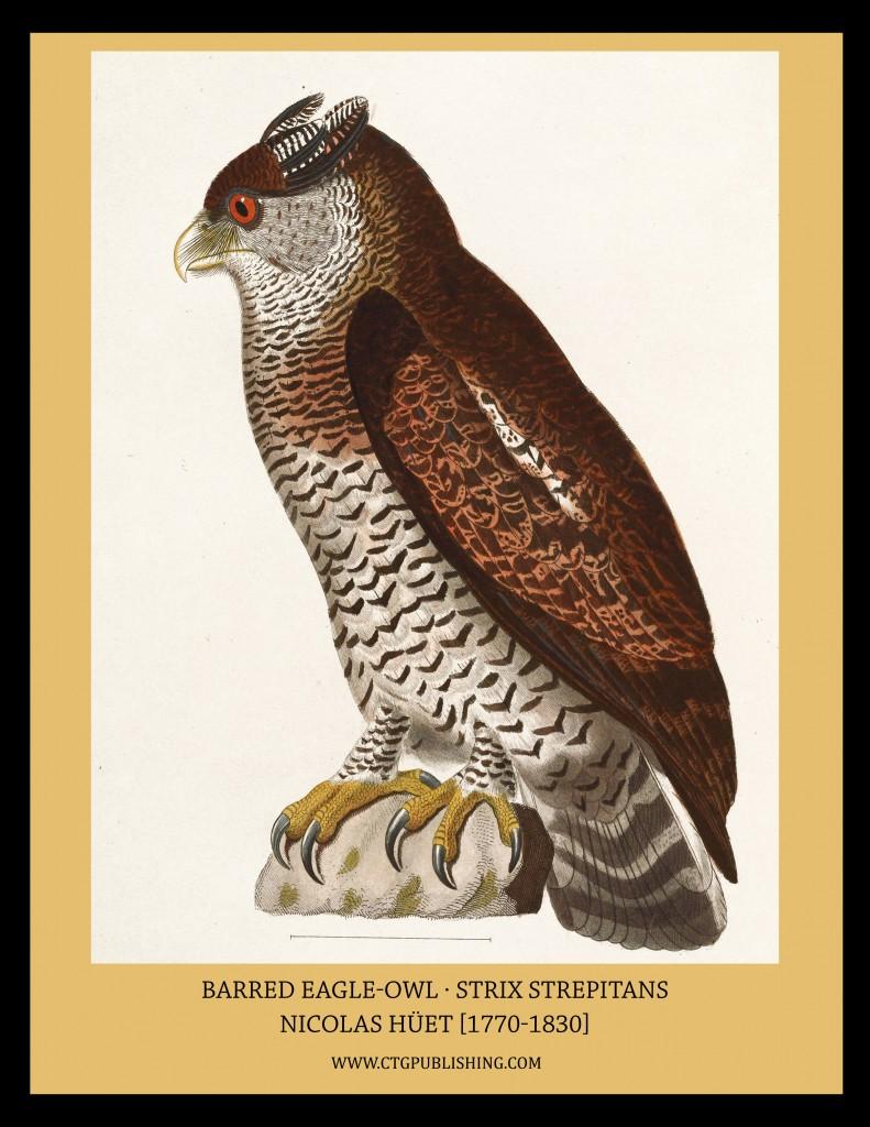Barred Eagle-Owl - Illustration by Nicolas Huet