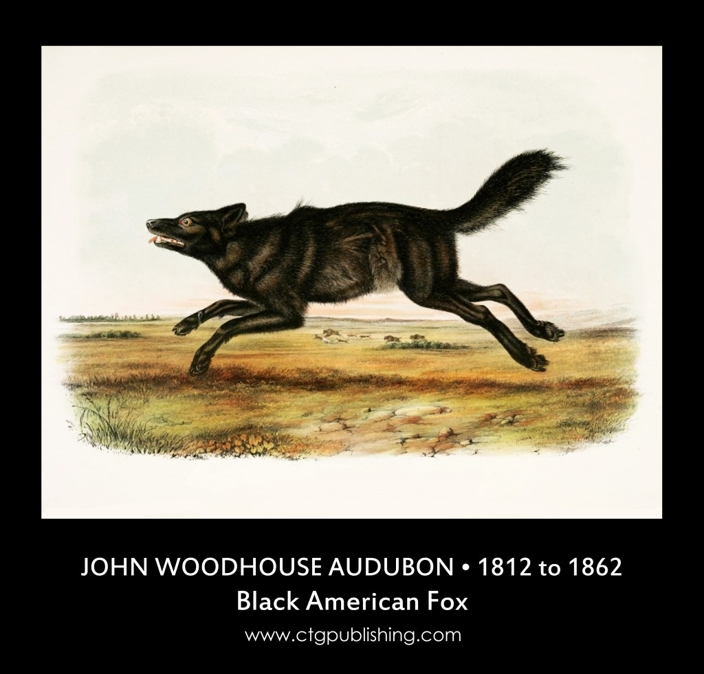 Black American Fox - Illustration by John Woodhouse Audubon