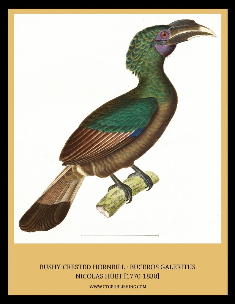 Bushy Crested Hornbill - Illustration by Nicolas Huet