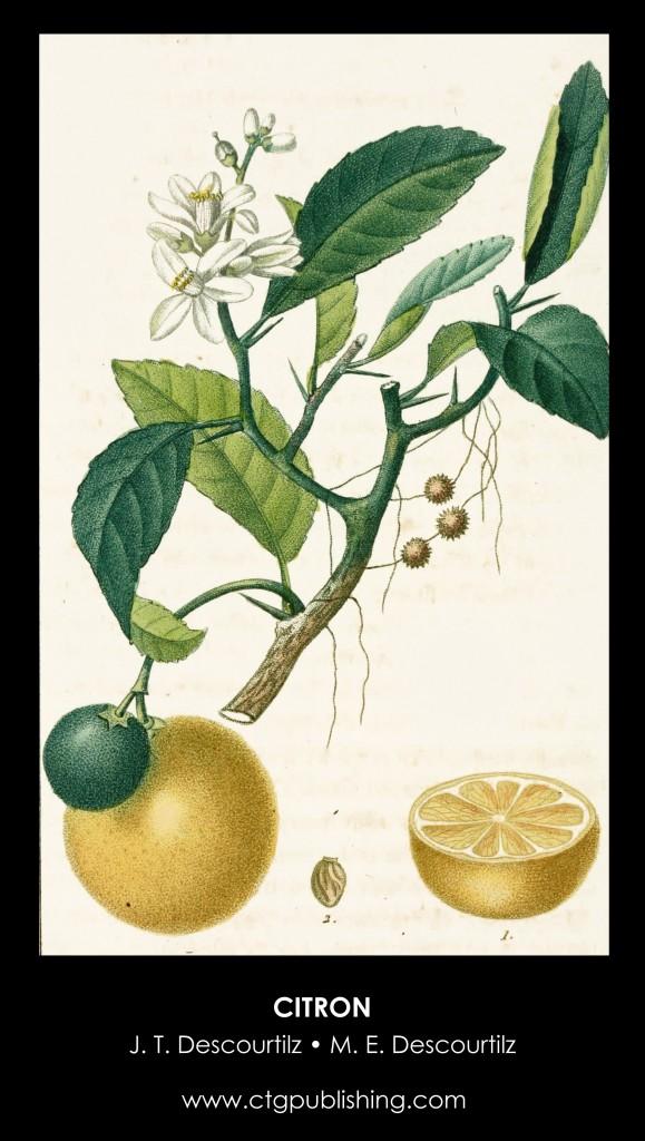 Citron Illustration by Descourtilz
