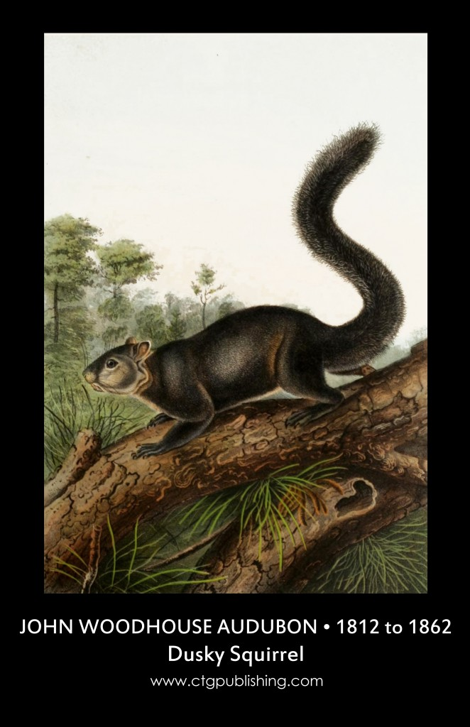 Dusky Squirrel - Illustration by John Woodhouse Audubon