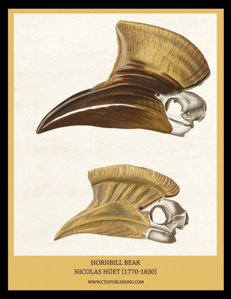 Hornbill Beak - Illustration by Nicolas Huet
