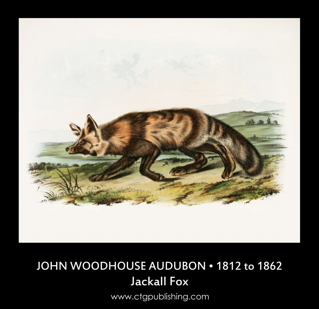 Jackall Fox - Illustration by John Woodhouse Audubon