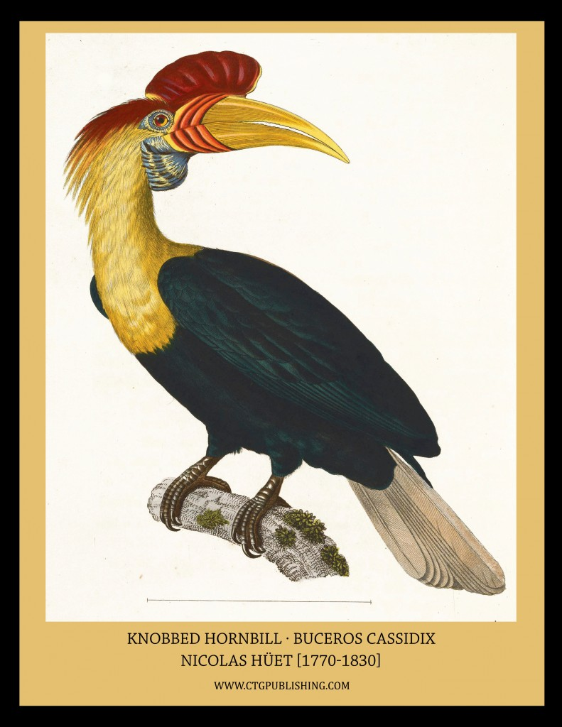 Knobbed Hornbill - Illustration by Nicolas Huet