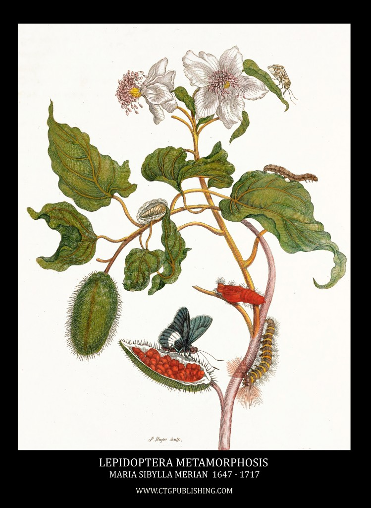 Lepidoptera Metamorphosis Image by Maria Sibylla Merian circa 1705