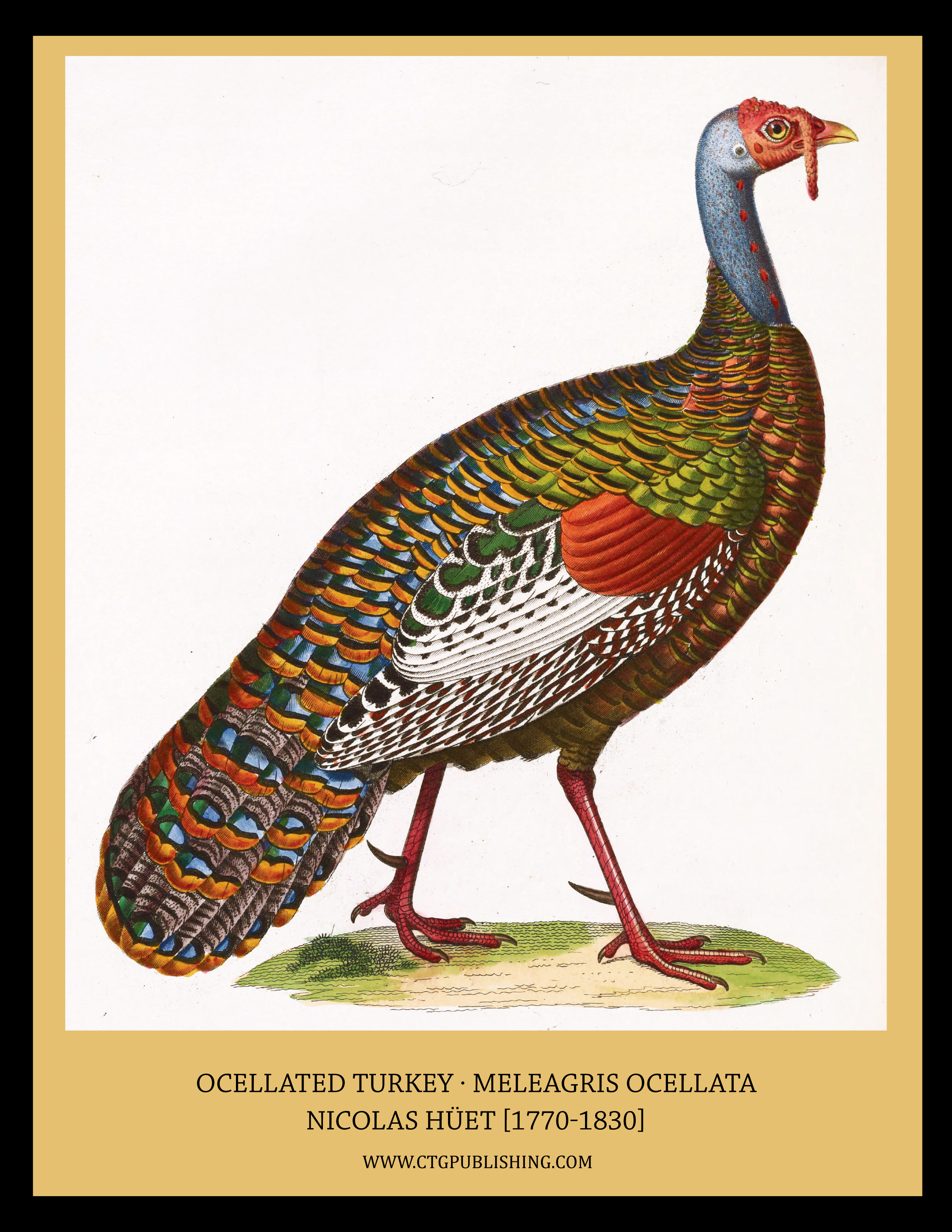 Ocellated Turkey - Illustration by Nicolas Huet