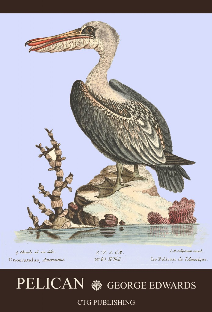 Pelican Illustration by George Edwards