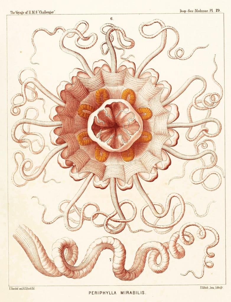 Jellfish - Peromedsae Illustration by Ernst Haeckel
