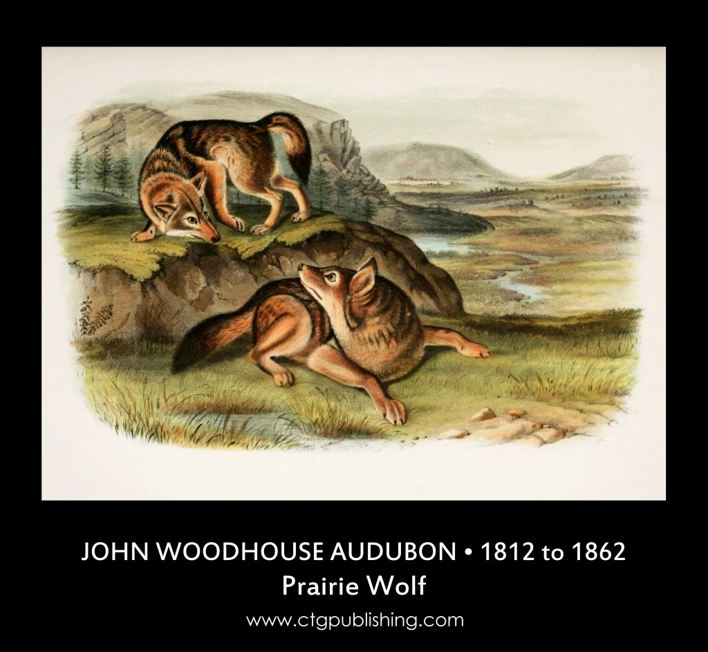 Prairie Wolf - Illustration by John Woodhouse Audubon