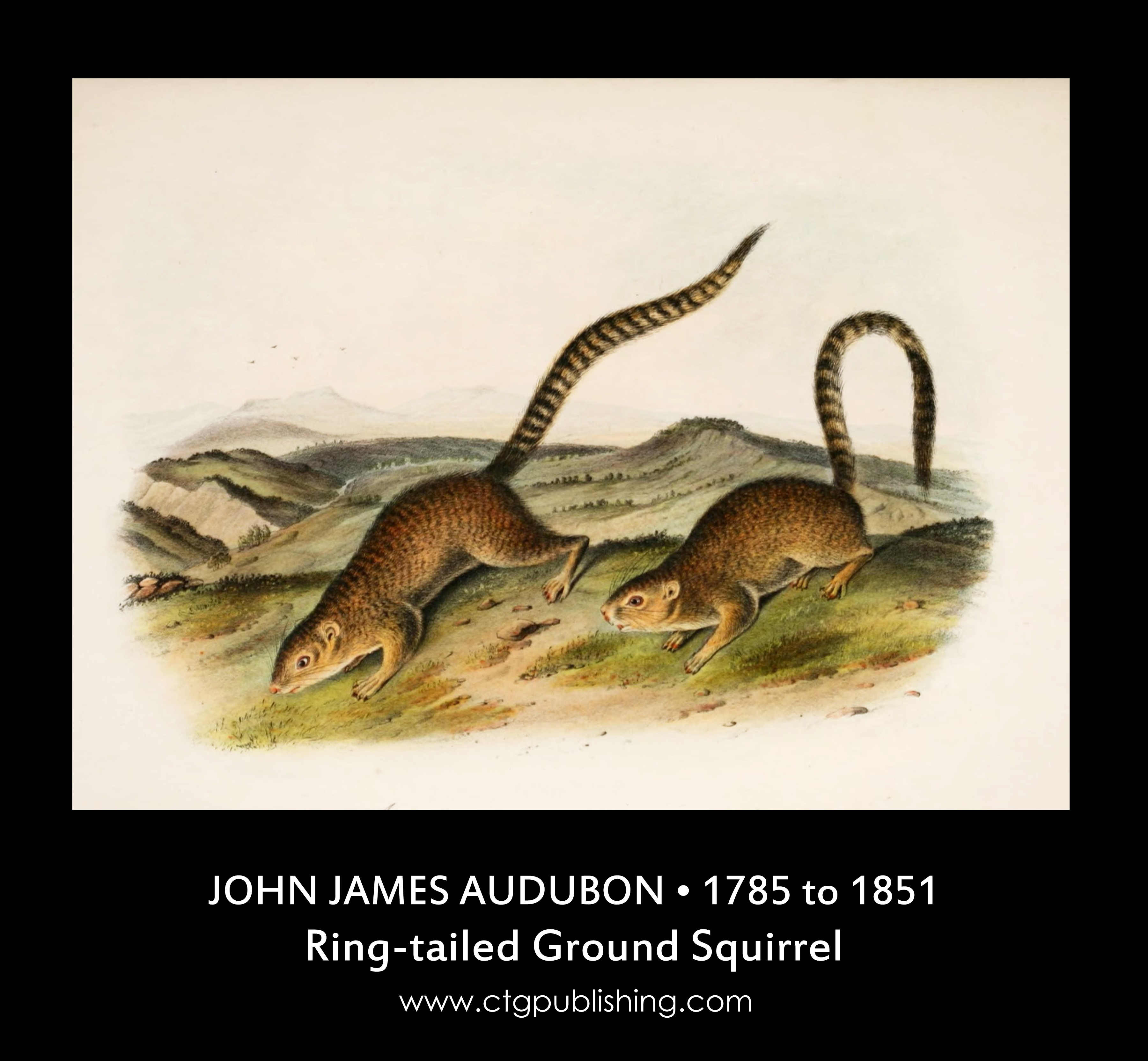 Ring Tailed Ground Squirrel