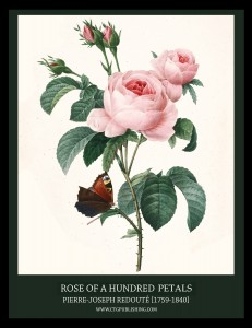 Rose of a Hundred Petals - Illustration by Pierre-Joseph Redoute