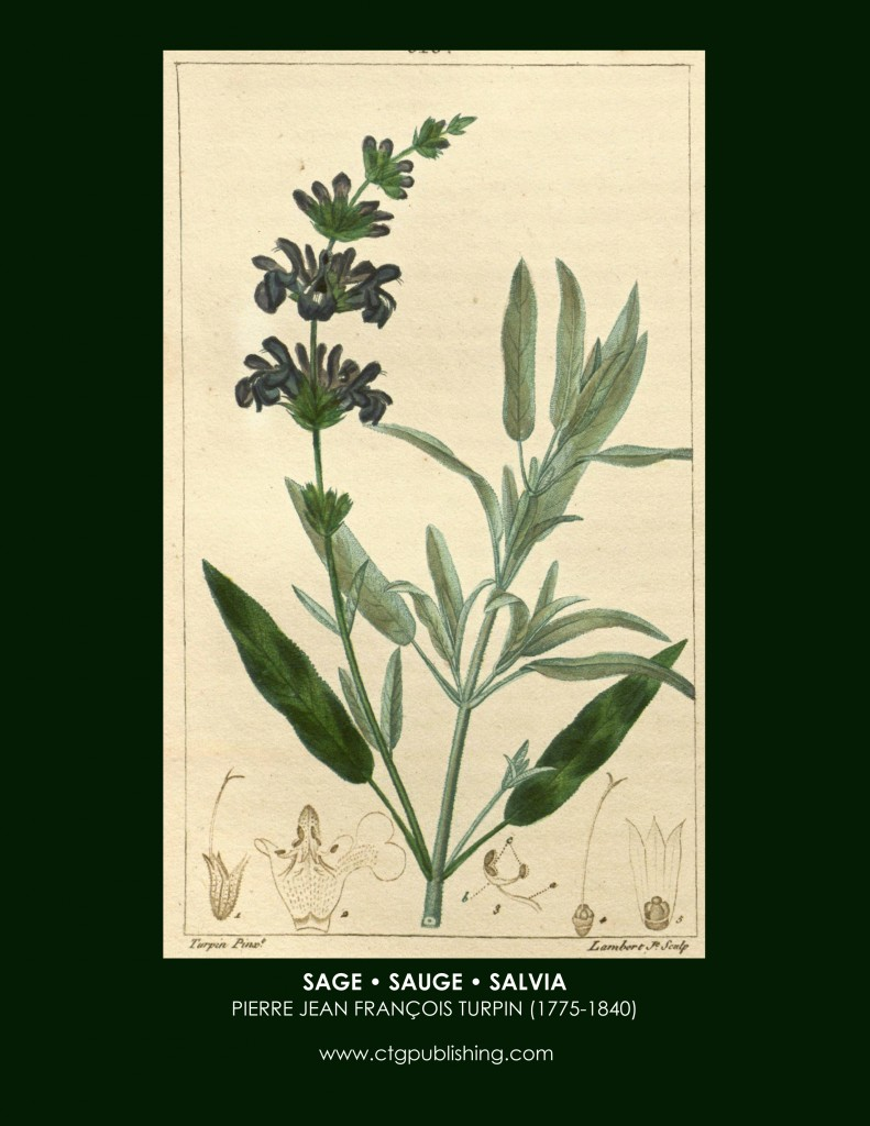 Thyme Botanical Drawing