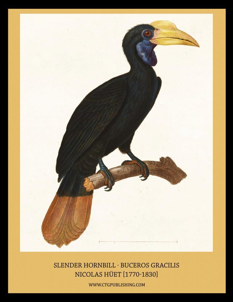 Slender Hornbill - Illustration by Nicolas Huet