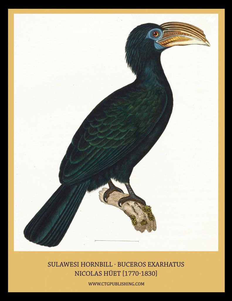 Sulawesi Hornbill - Illustration by Nicolas Huet