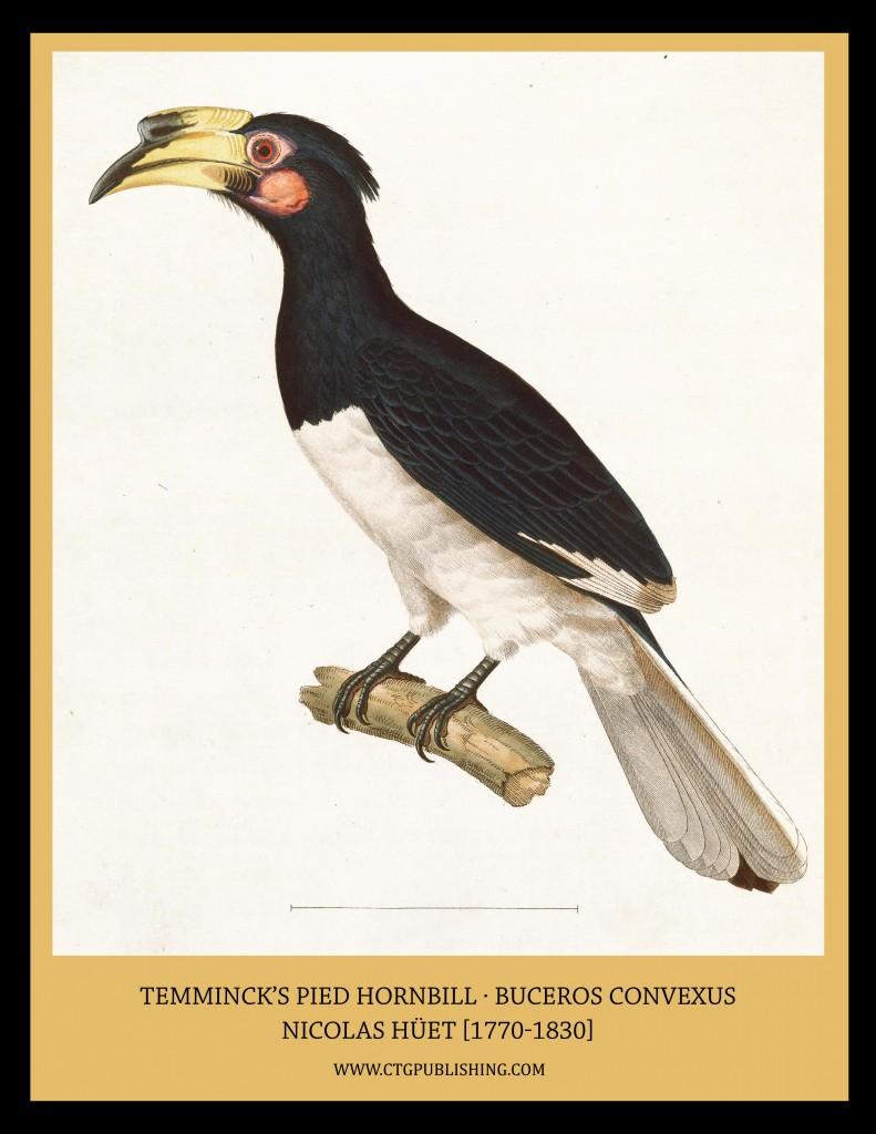 Temminck's Pied Hornbill - Illustration by Nicolas Huet