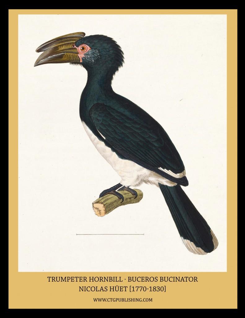 Trumpeter Hornbill - Illustration by Nicolas Huet