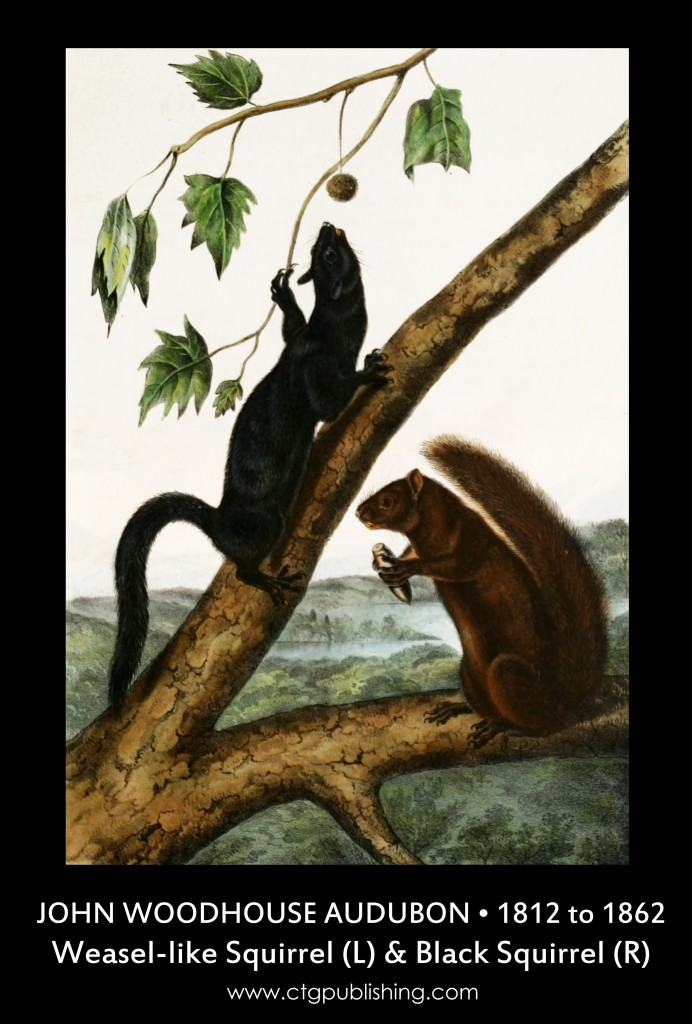 Weasel-like Squirrel and Black Squirrel - Illustration by John Woodhouse Audubon